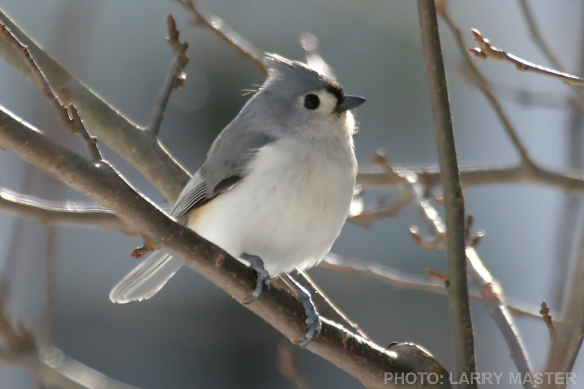Tufted Titmouse - Larry Master