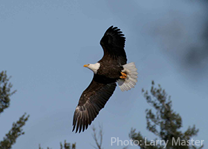 Bald Eagle in flight photo by Larry Master