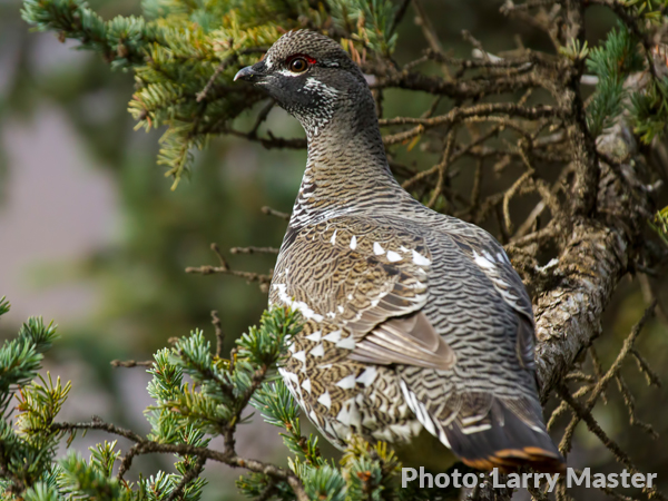 watch out for spruce grouse