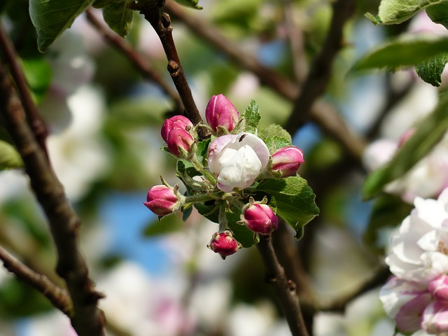 Uploaded Image: /vs-uploads/Climate change blog/apple-blossom-116391_640.jpg