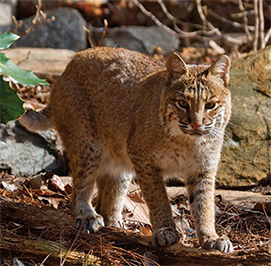 Uploaded Image: /uploads/Critter Blog/Bobcat2_LM.jpg