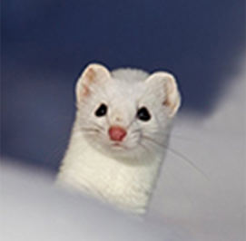 Uploaded Image: /uploads/Critter Blog/ermine_LM.jpg