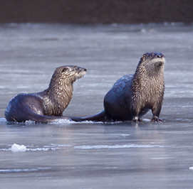 Uploaded Image: /uploads/Critter Blog/River Otters_small_LM.jpg