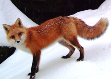 Uploaded Image: /uploads/Critter Blog/Red Fox_3_DEC.jpg
