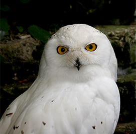 Uploaded Image: /uploads/Critter Blog/SnowyOwl2_small_LM.jpg
