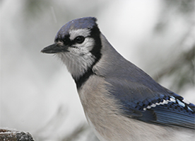 Uploaded Image: /uploads/Critter Blog/BlueJay_small.jpg