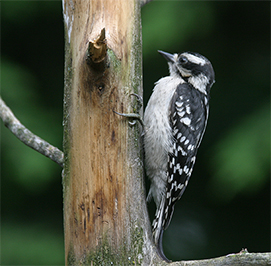 Uploaded Image: /uploads/Critter Blog/DownyWoodpecker_small.jpg