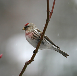 Uploaded Image: /uploads/Critter Blog/CommonRedpoll_small.jpg