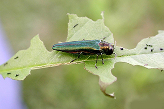Uploaded Image: /uploads/Invasives Blog/EmaraldAshBorer_small.jpg
