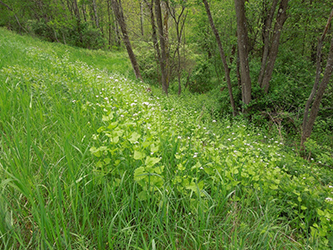 Uploaded Image: /uploads/Invasives Blog/GarlicMustard_Small.jpg