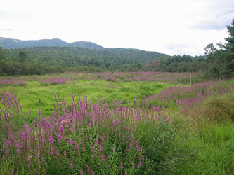 Uploaded Image: /uploads/Invasives Blog/PurpleLoosestrife_small.jpg