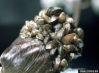 Uploaded Image: /uploads/Invasives Blog/Zebra-Mussel_small.jpg