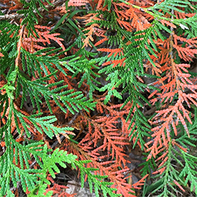 Coniferous Foliage in the Adirondacks