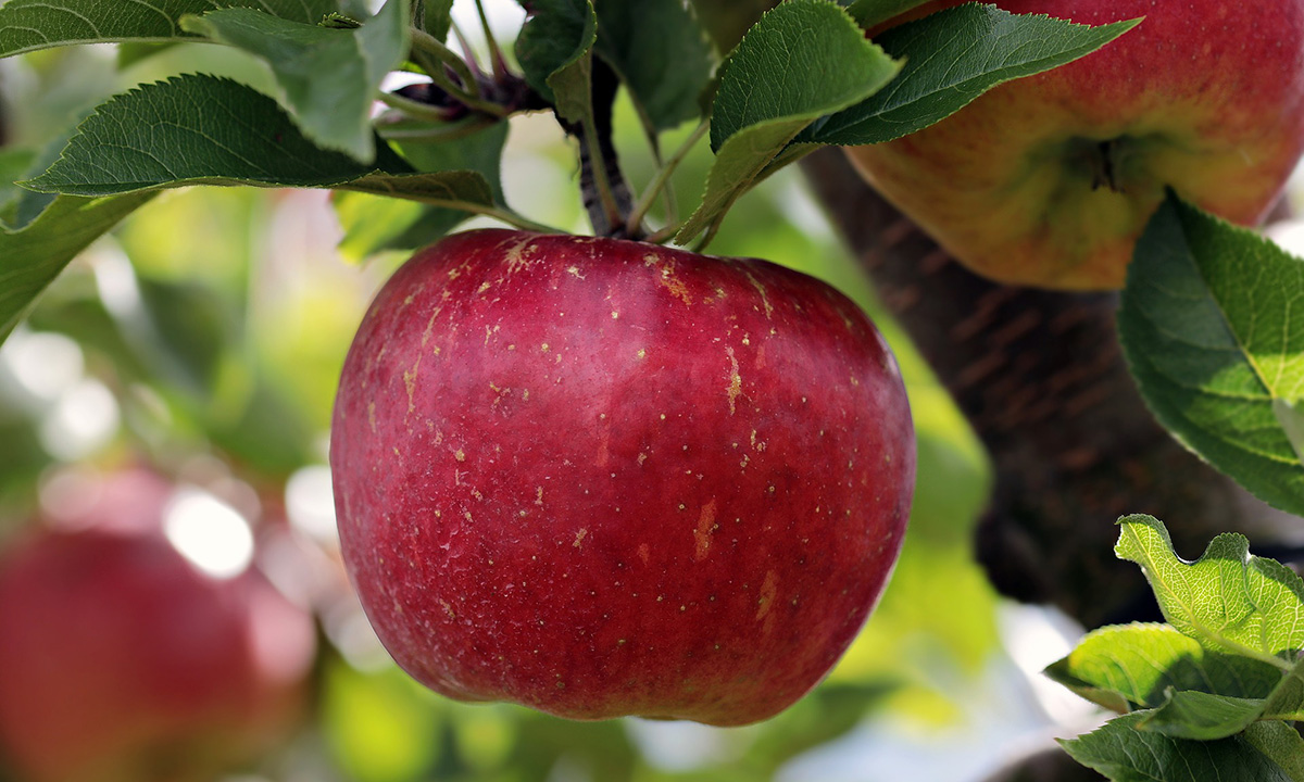 Apples in the Adirondacks | An Upstate Tradition