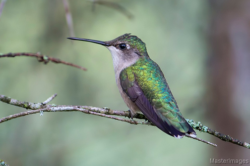 Uploaded Image: /vs-uploads/hummingbirds/Hummingbird_male.jpg