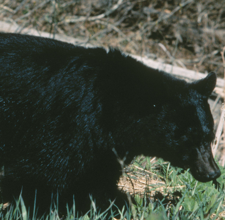 DEC Proposes Expanding Black Bear Hunting