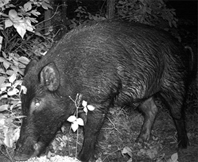 Uploaded Image: /vs-uploads/images/Eurasion Boar.jpg