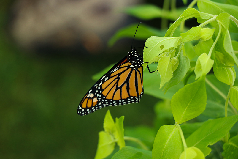 Uploaded Image: /vs-uploads/pollinator-blog/monarch.jpg