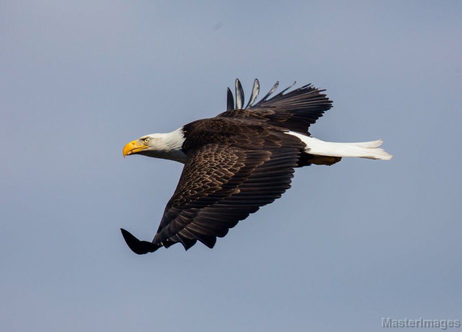Bald Eagles - Teaching the Past and Showing the Future